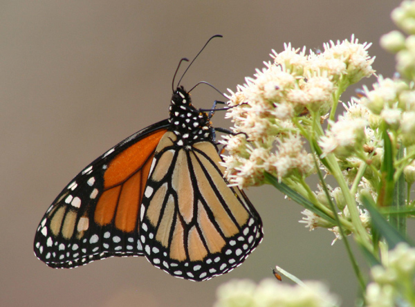 Monarch on Seep-willow