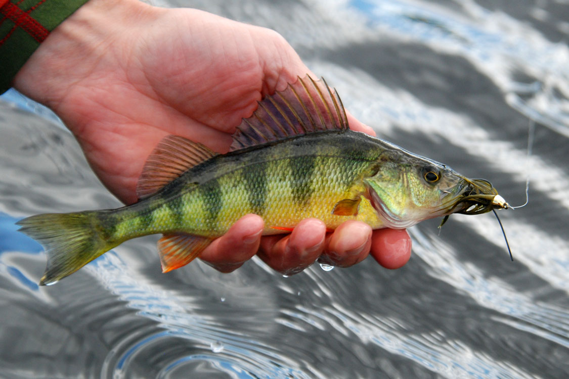 Image gallery lake perch for Perch fish facts