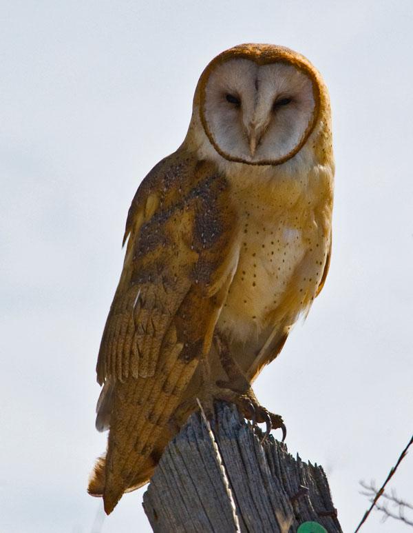 White Owls | Audubon Guides